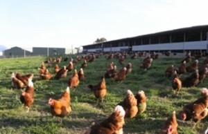 Il comportamento dei polli da carne Free-range
