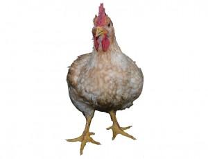 Il pollo di domani9H